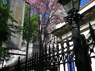 Jacaranda trees in bloom in November!