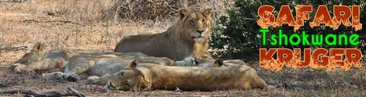 Leones en Tshokwane, Kruger