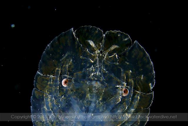 Parribacus antarcticus, ミナミゾウリエビのニスト幼生