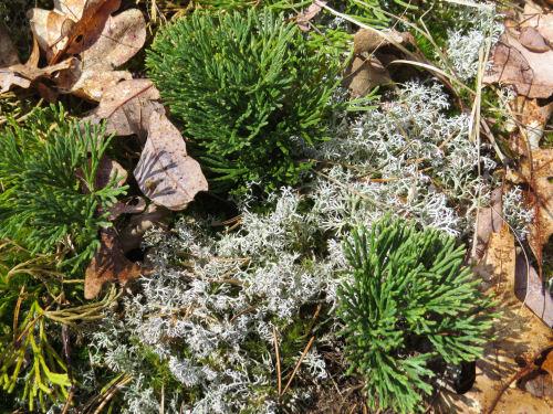 Northern Ground Cedar and Reindeer moss