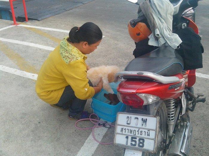 Женщина готовит своих собак к поездки