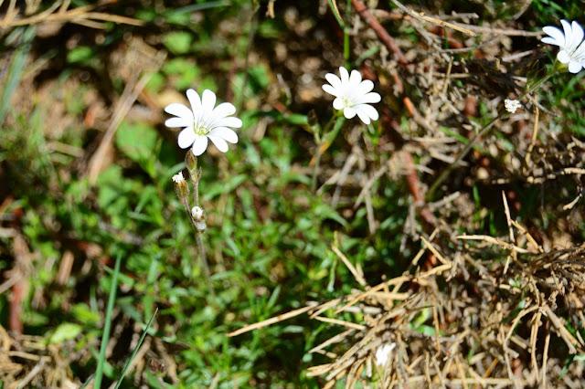 Cerastium soleirolii