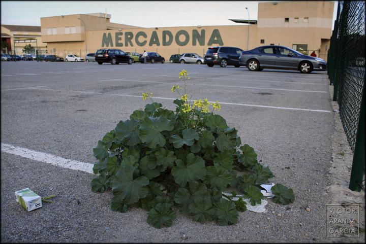 fotografia,naturaleza_urbana,fuente_alamo,mercadona,parking,flores