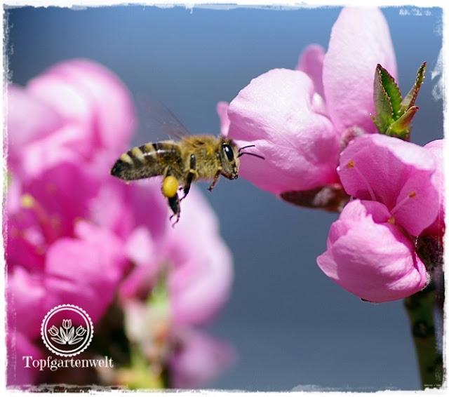 Gatenblog Topfgartenwelt Pinterest: Gartenblogger Garten Gruppenpinnwand, Biene im Anflug auf Nektarine