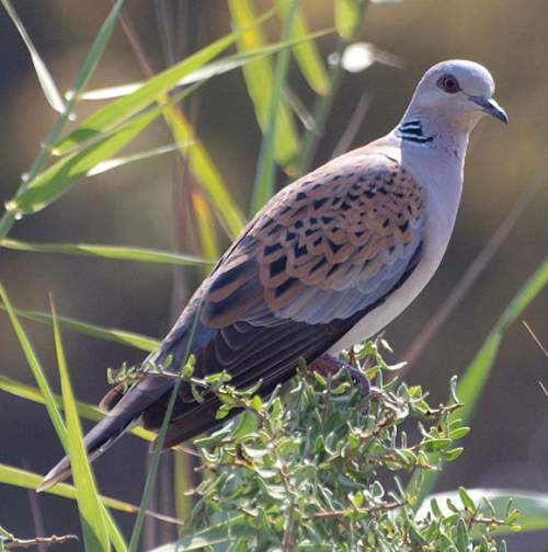 Indian birds - Picture of European turtle dove - Streptopelia turtur