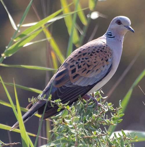 Indian birds - Picture of European turtle dove - Streptopelia turtur