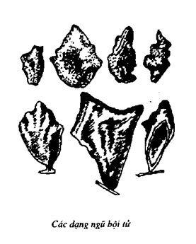 Hình vẽ Ngũ Bội Tử - Galla sinensis - Nguyên liệu làm thuốc Chữa Đi Lỏng-Đau Bụng