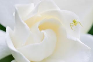 gardenia flower with small spider