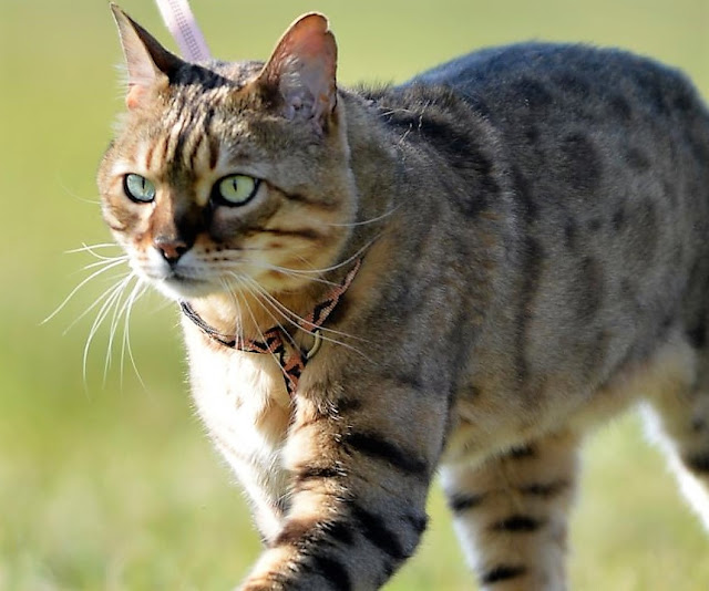 Northern Rivers citizens are ambivalent about laws confining and supervising cats