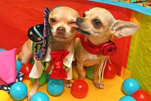 Tiệc sinh nhật các em cún