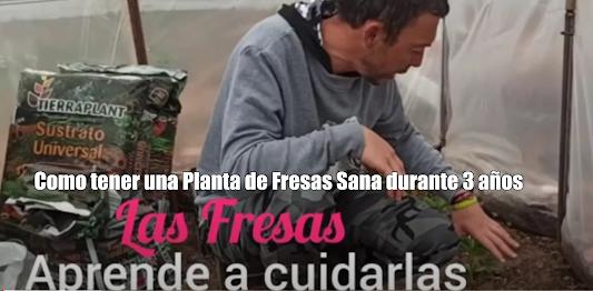 Como tener una Planta de Fresas Sana durante 3 años Cuidados necesarios