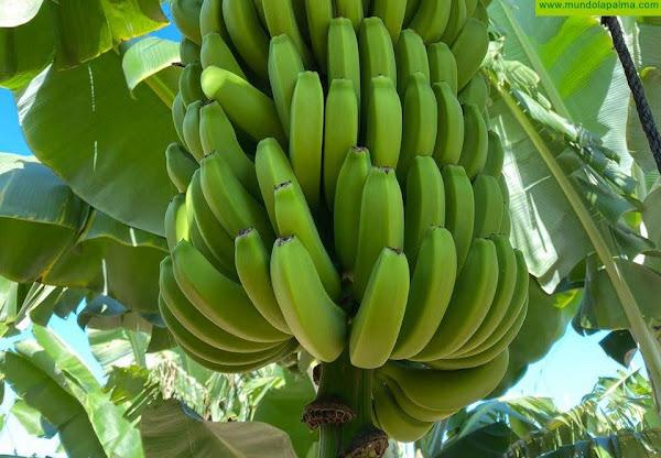 CC: -Las administraciones deben trabajar conjuntamente con los plataneros para que no se pierda la próxima cosecha de plátanos-