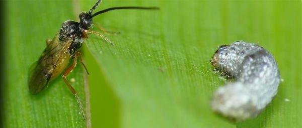 Sâu bướm biết ăn chất độc để tự vệ trước kẻ thù
