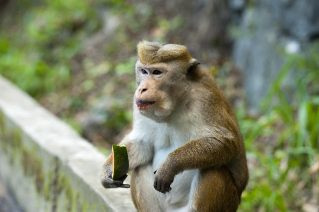Monkey eating fruit image