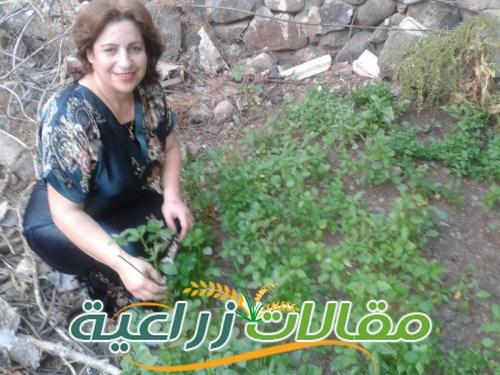 زراعة الملوخية فى حديقة المنزل والاسطح - مقالات زراعية