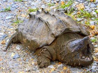 ekor-kura-kura-terputus.jpg