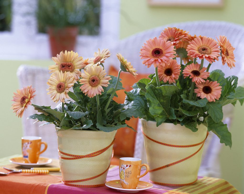 cvijeće-flowers-gerberi