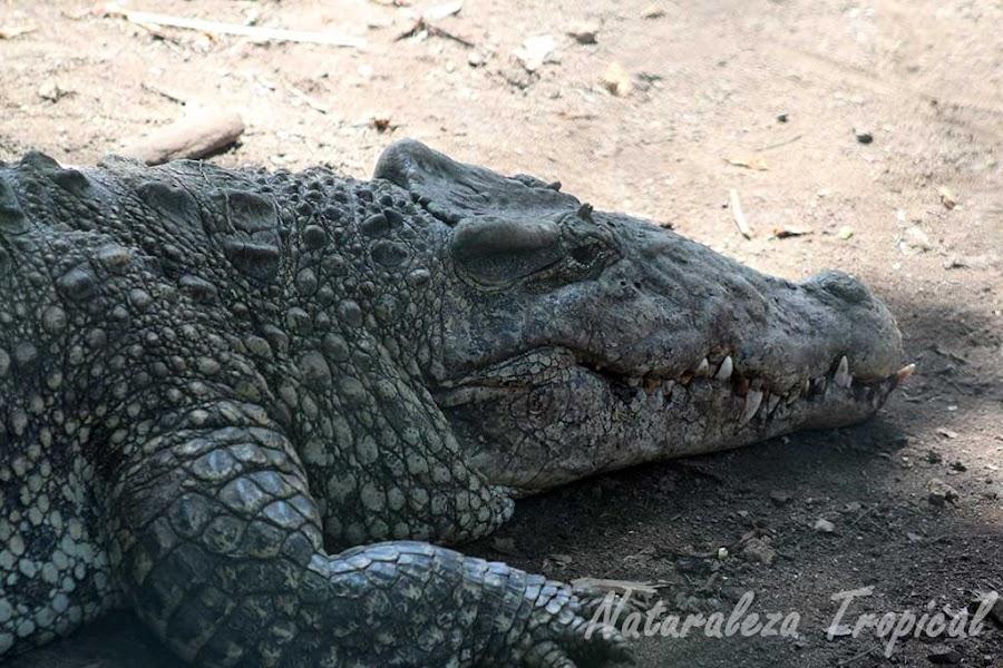 Cocodrilo Cubano, Crocodylus rhombifer