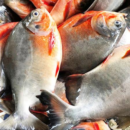 Biaya / Harga Supplier Jual Ikan Bawal Bibit & Konsumsi Jayapura, Papua
