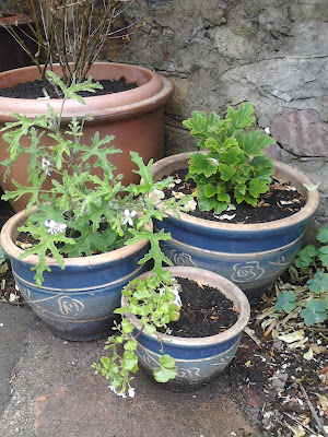 Scented pelargoniums in pots on patio Green Fingered Blog