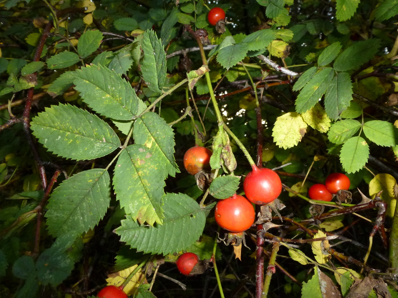 Wild Harvests Rose Hips For Tea