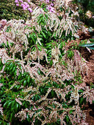 Pieris japonica 'Brouwers Beauty' (also Andromeda)