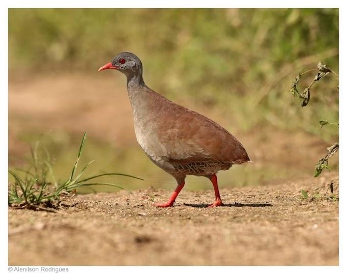 Fotógrafo alagoano Alenilson Rodrigues faz registros incríveis de aves em seu habitat