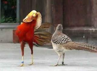 Ayam Golden Pheasant Jantan dan Betina