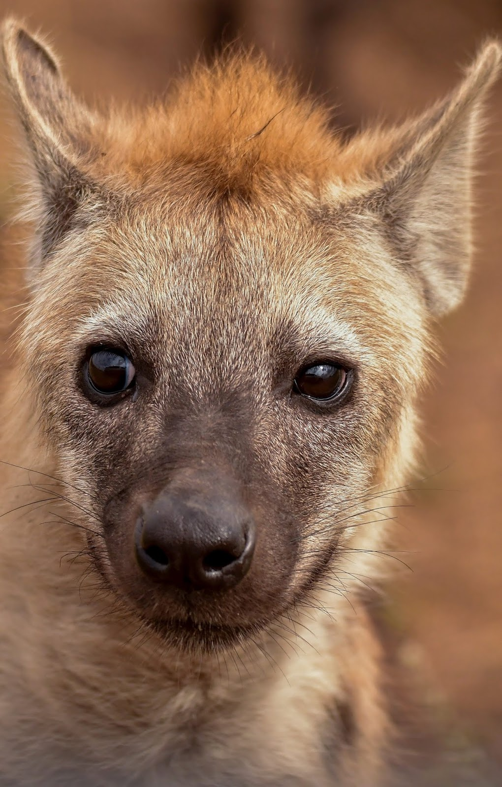 A young hyena.