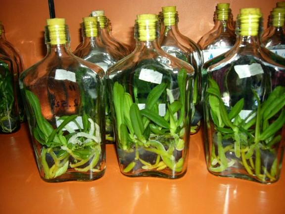 Botol orchid