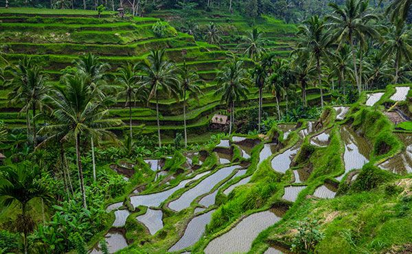 Kintamani volcano tour with ubud village bali day tours for Tegalalang rice terrace ubud