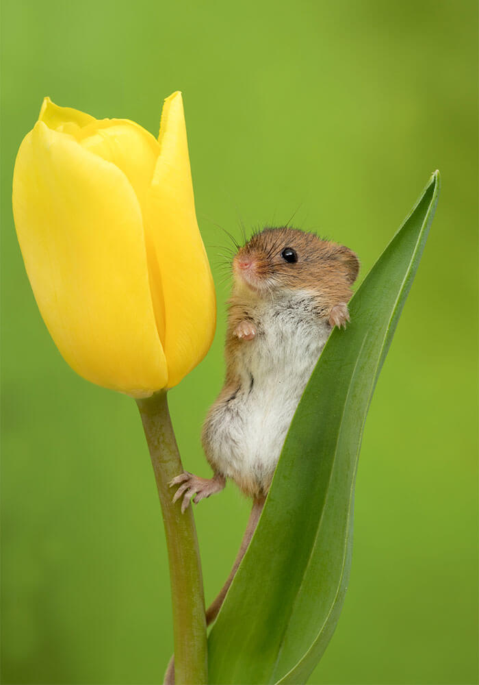 Photographer Tiptoed Through The Flowers To Capture Harvest Mice, And The Result Is Amazing