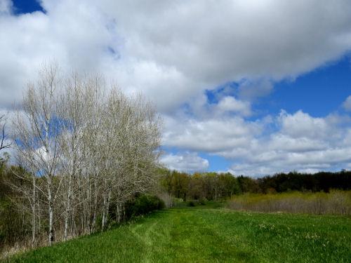 spring sky with aspens