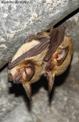 Murciélago orejudo chico Histiotus montanus