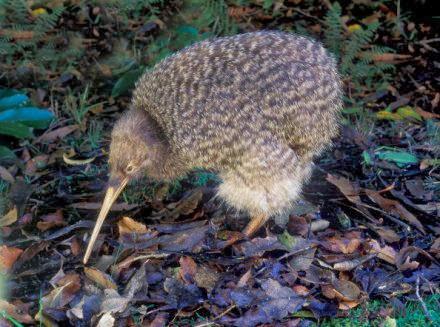 Selama ini yang kita tahu burung Kiwi merupakan hewan khas Selandia Baru Burung Kiwi ternyata berasal dari Australia???