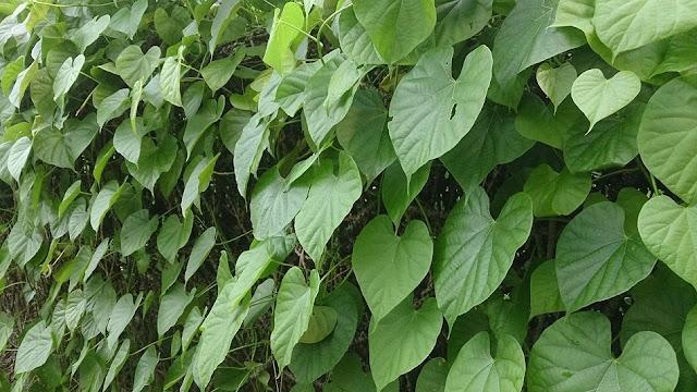 Bụi Dây Ký Ninh - Tinospora crispa - Nguyên liệu làm thuốc Chữa Cảm Sốt