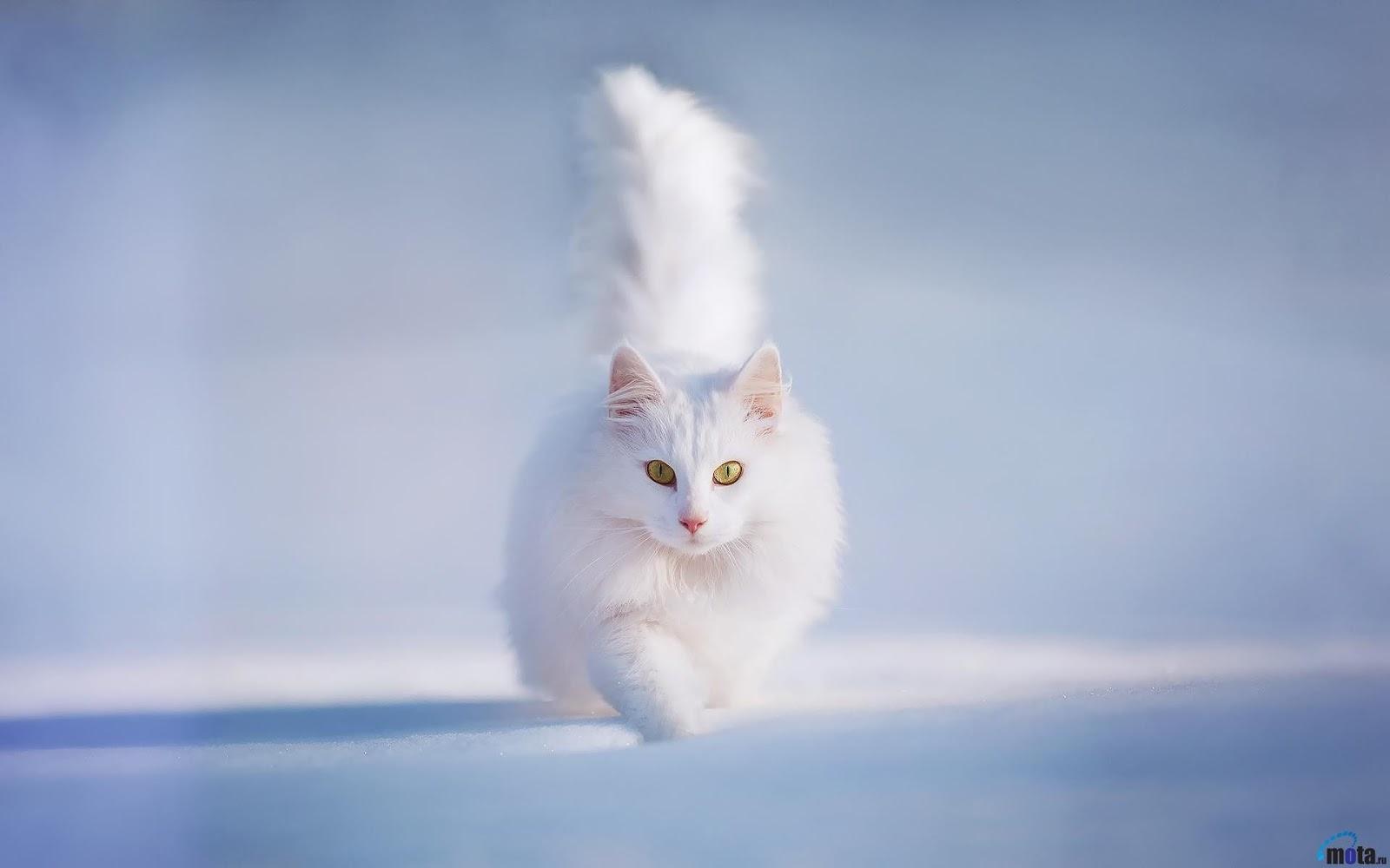 Beautiful White Cat Wallpaper