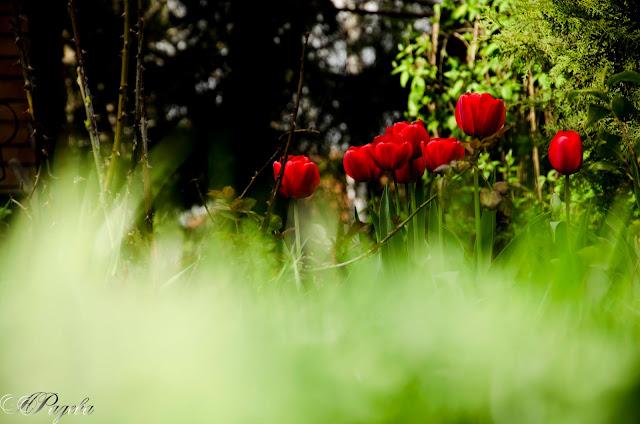 Лалета-Tulips