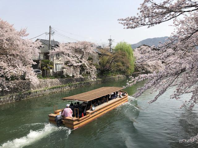 疏水の桜 十石舟