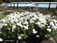 White Iceberg roses - Wellington Botanic Garden, New Zealand