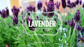 Cara Menanam Bunga Lavender Di Dalam Media Pot