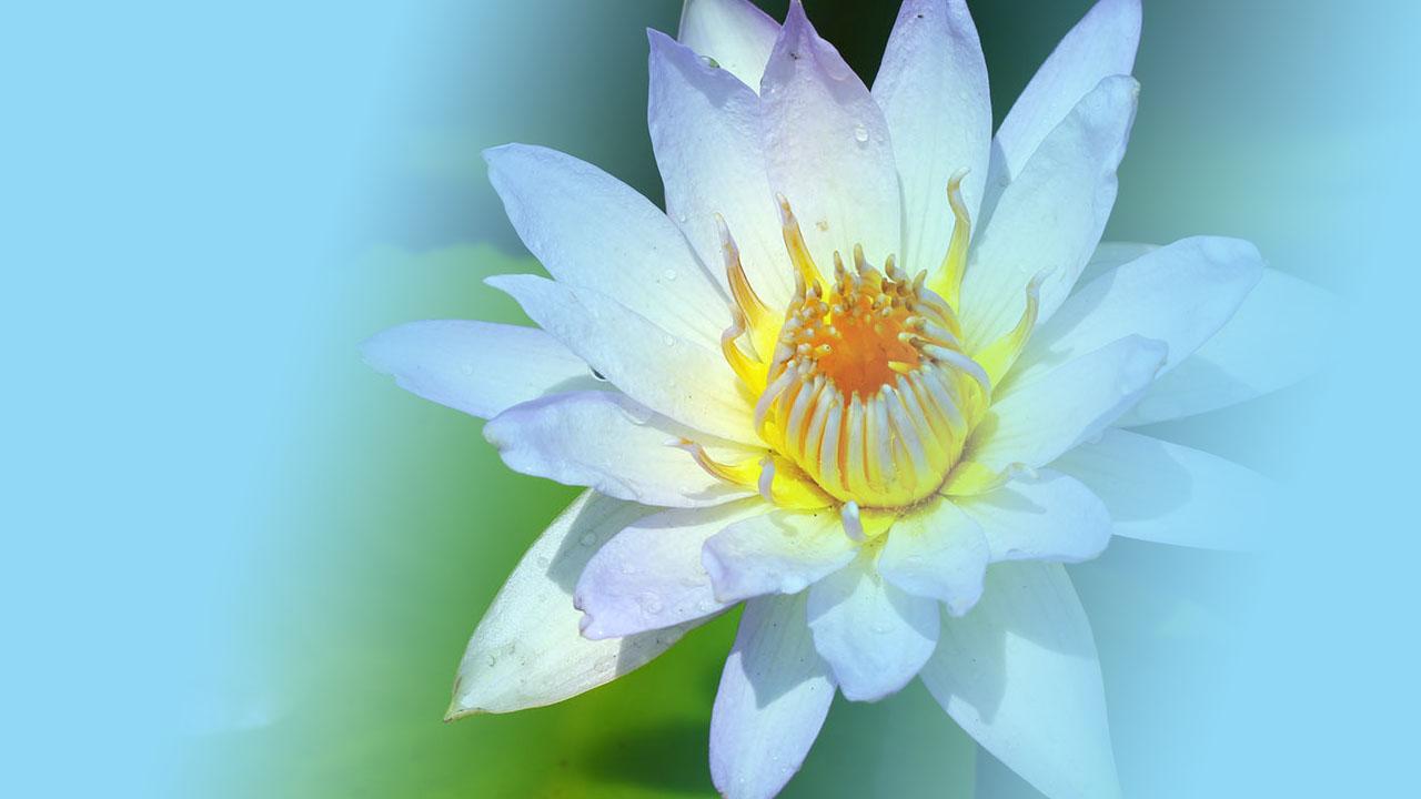bunga teratai banyak manfaatnya