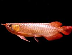 Ikan Hias Air Tawar Termahal arwana cantik