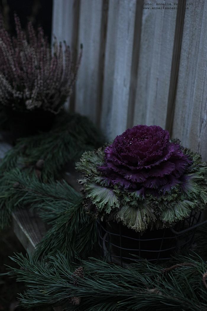 kål växt, växter, utomhus, vinter,