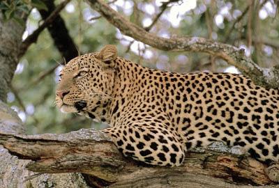 Denne karen ser du ikke vill i Europa. Men drar du jorda rundt og sneier innom Sri Lanka, kan du være så heldig å få øye på det vakre kattedyret.