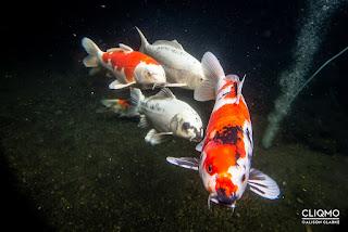Kualitas Air Kolam Ikan Koi