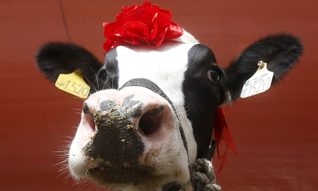 Vietnam's 'Miss Milk Cow' Beauty Contest 2015 Crowns Winner