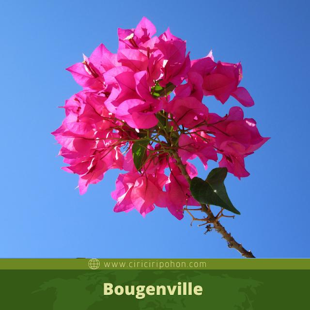 Ciri ciri pohon bougenville