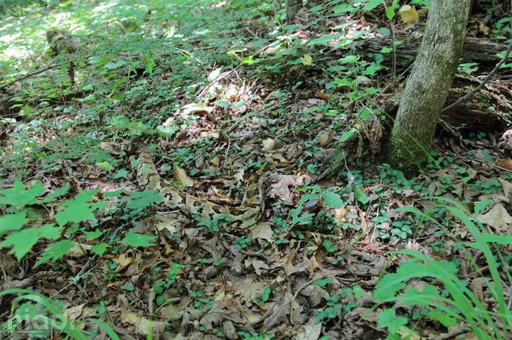 Timber Rattlesnake si hewan yang bisa menyamar