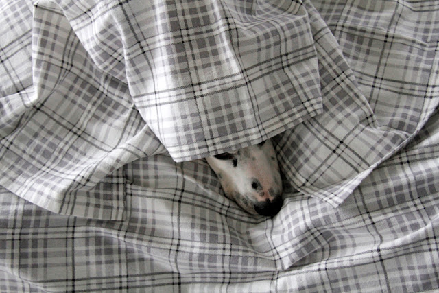 Dalmatian dog completely cuddled underneath grey and white plain flannel blanket